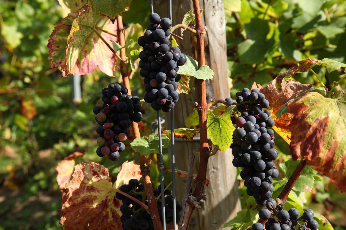 Coteaux de la Légia - Ans - Grappes de raisins