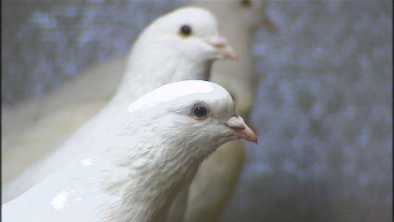 Pigeondechair