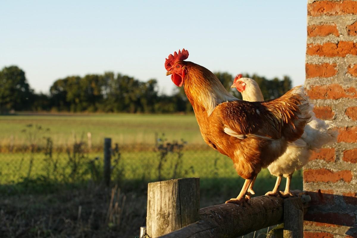 Chicken-5047389_1920