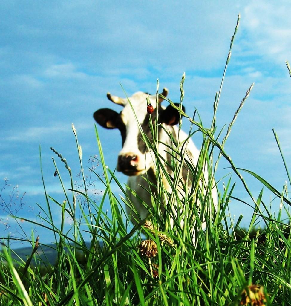 Ferme-des-grandes-fagnes-stavelot-vache
