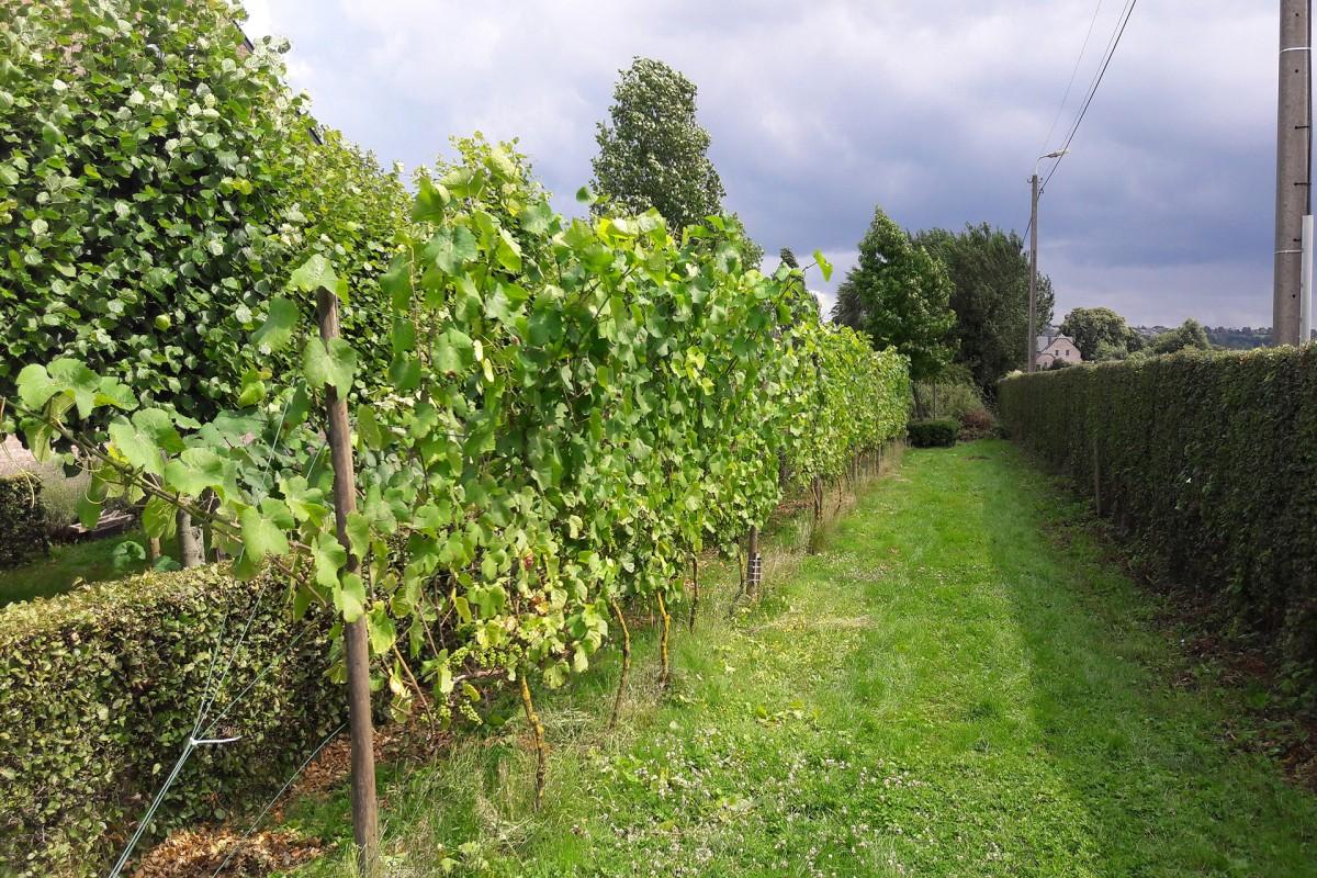 Clos de la Bouhouille - Blegny - Vignes