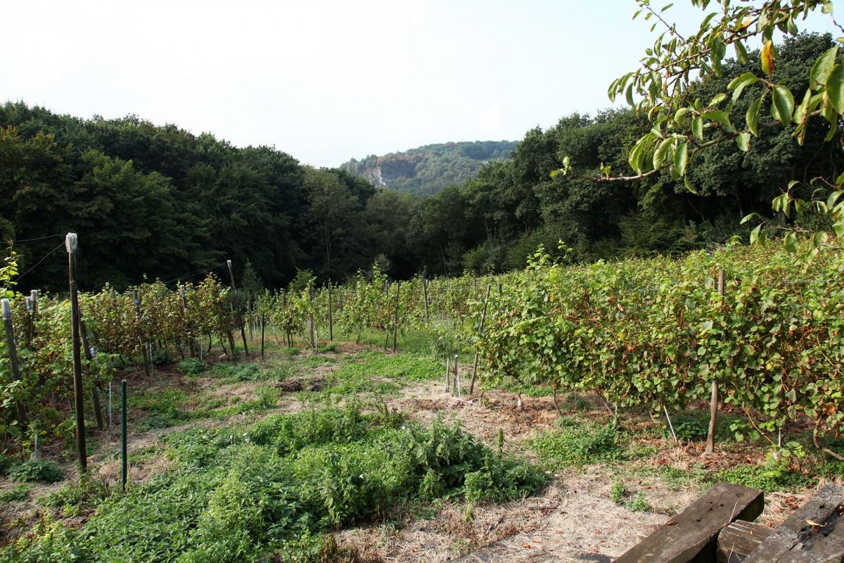 Domaine Vignoble du Haut-Rognac - Flémalle - Vignoble