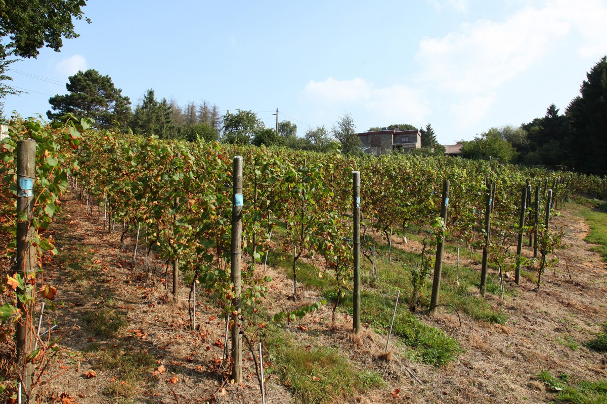 Domaine Vignoble du Haut-Rognac - Flémalle - Vignes