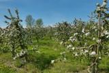 Balades en boucle - La balade des poiriers - Vergers en fleurs