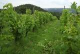 Domaine Celiandre - Flémalle - Pieds vignes