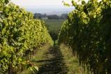 Vignes-paysage-vin-de-liege