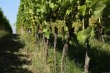Vignes-vin-de-liege