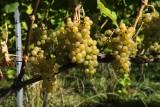 Raisins-blancs-vin-de-liege
