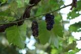 Raisins-clos-du-beau-rosier