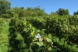 Clos de la Buissière - Huy - Vignes