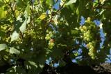Clos de la Buissière - Huy - Raisins