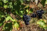Raisins-noirs-domaine-chateau-dalhem