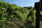 Domaine Château Dalhem - Dalhem - Vignes