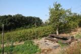 Vignoble-arbres