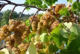 Vignoble Joskin - Dalhem - Grappes de raisins
