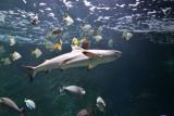 Aquarium-Muséum Liège - Requin pointes noires
