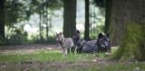 Forestia - Theux - Parc animalier - Louve et louveteaux