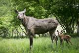 Forestia - Theux - Parc animalier - Elan