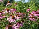 Elsenborn herba sana echinacea purpurea c eastbelgium.com