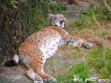 Lynx-4-petit-parc-ben-ahin