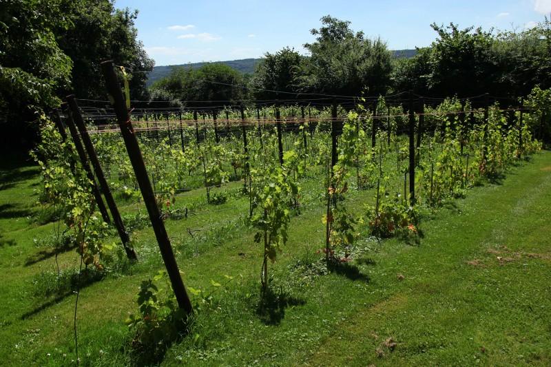 Clos du Panou - Amay - Vignes