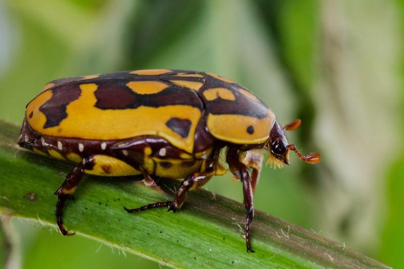 Hexapoda - insecte