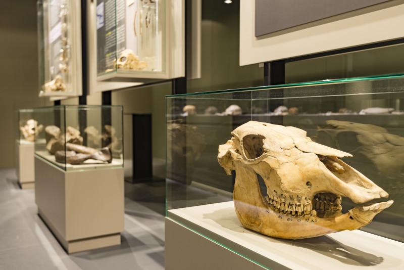 Préhistomuseum - Flémalle - Musée - vitrine avec crâne