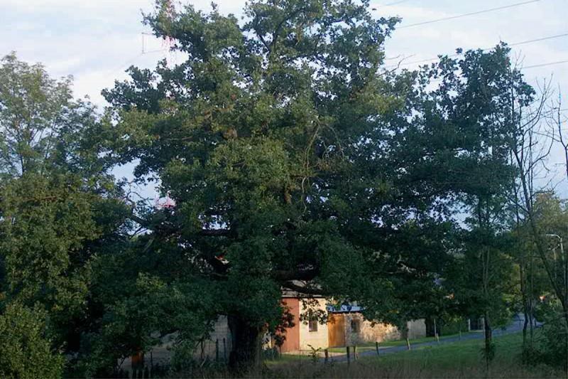 Vieux Chêne de Werbomont