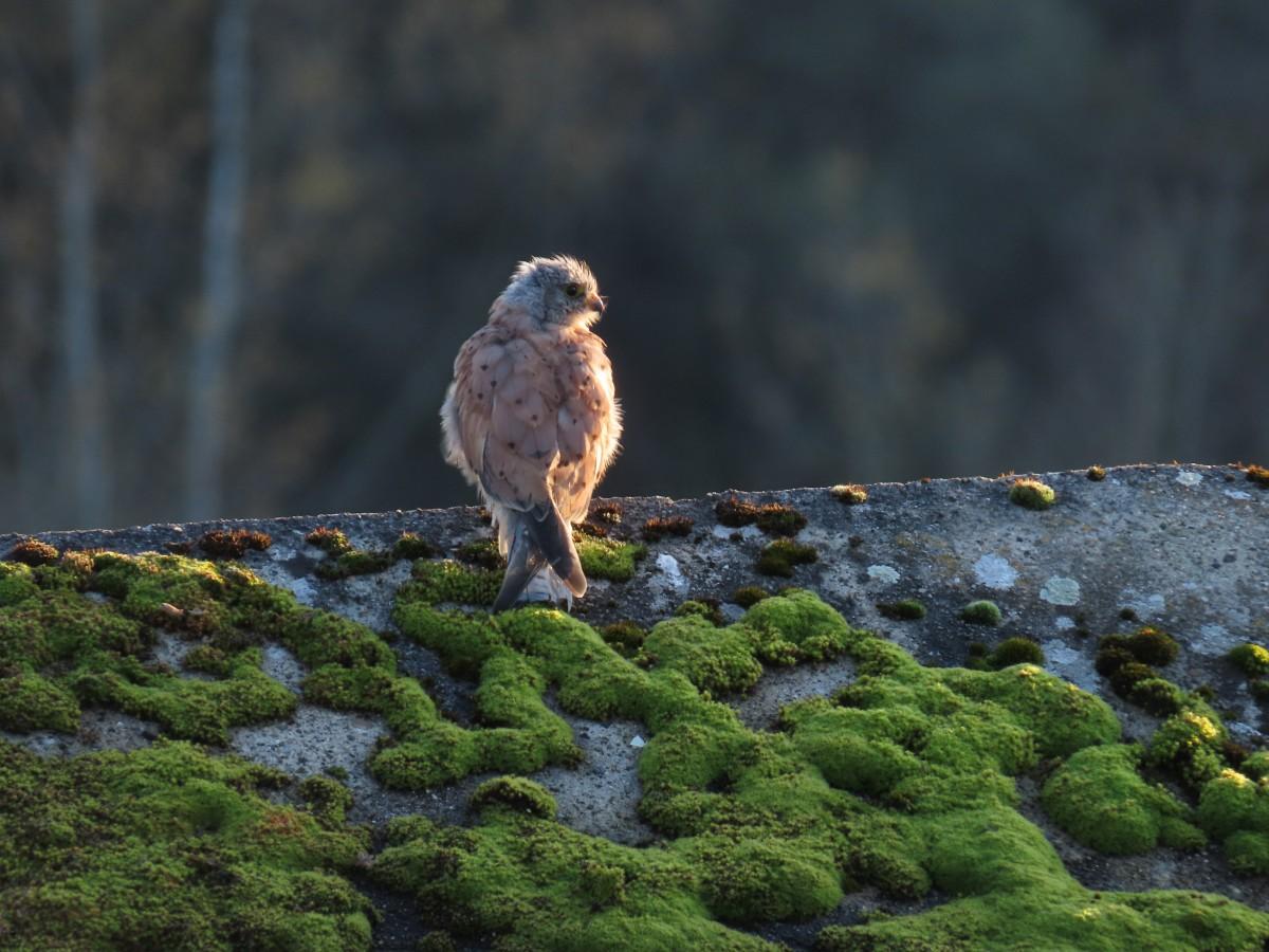 Faucon crécerelle St Martin © Brigitte Pirlet