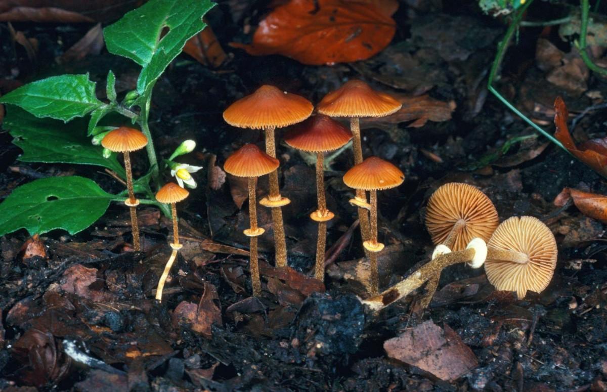 Mushrooms-lawn-mushroom-Conocybe-filaris-Ingestion-region