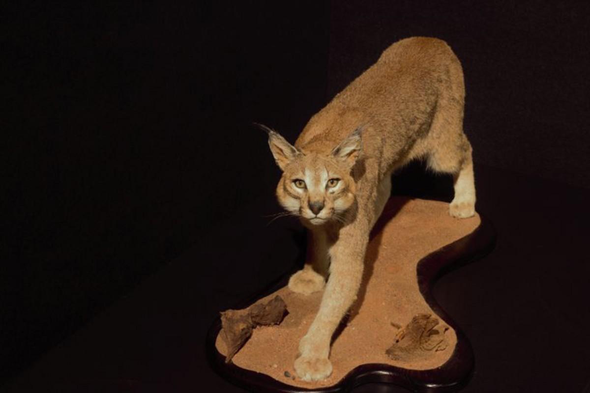 Félins ! Du tigre au Chat domestique - Prehistomuseum - Félin