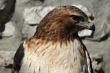 Flémalle - Balade - Buses, faucons, hiboux..., les rapaces, c'est chouette
