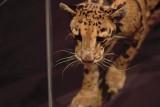 Félins ! Du tigre au Chat domestique - Prehistomuseum - Félin (2)