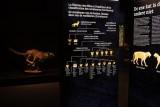 Félins ! Du tigre au Chat domestique - Prehistomuseum - Félins - panneaux filiations