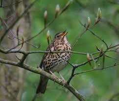 Chant des oiseaux