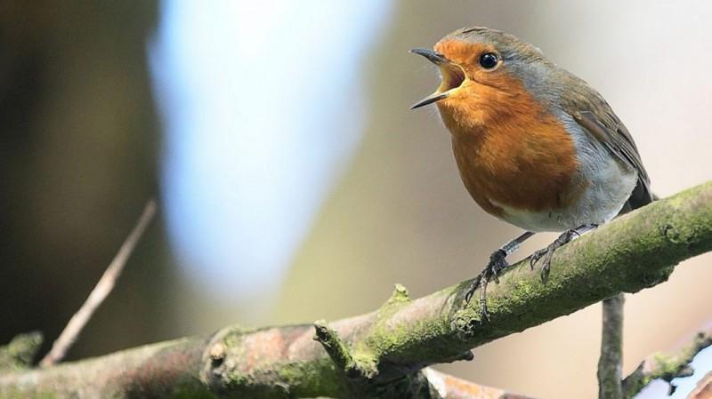 Initiation aux chants des oiseaux