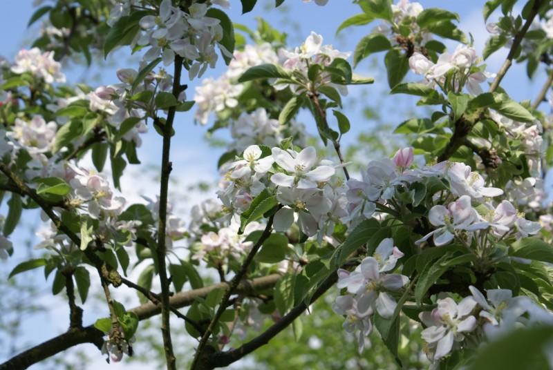 Arbres-en-fleurs-automne-stavelot (1)