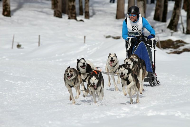 Course chiens de traîneau - Rodt-Saint-Vith - Attelage
