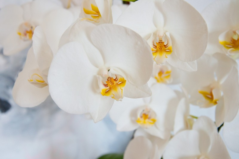 Orchid-3992392_1920